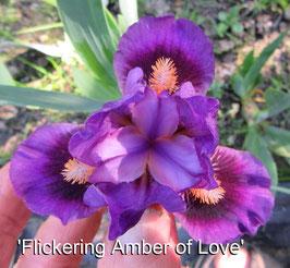 'Flickering Amber of Love'