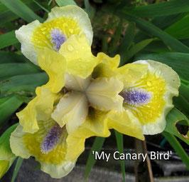 'My Canary Bird'