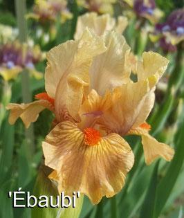 'Ebaubi'