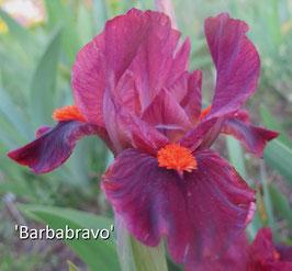 'Barbabravo' - SDB - 28cm
