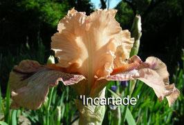 'Incartade' - SFTB - 75cm