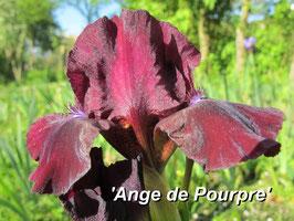 'Ange de Pourpre'