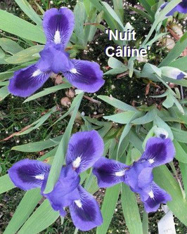 'Nuit Câline'