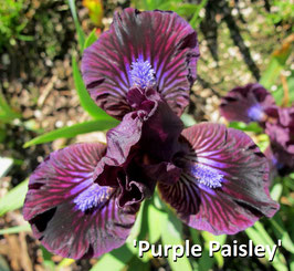 'Purple Paisley'