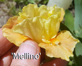 'Mellino'