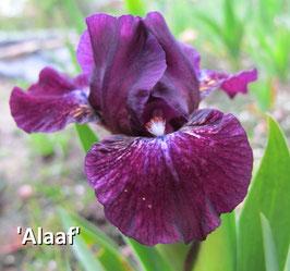 'Alaaf'
