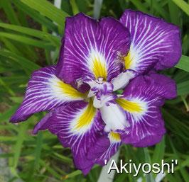 'Akiyoshi'