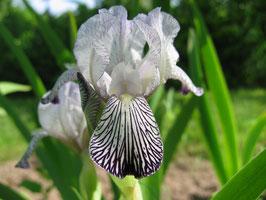 'i. variegata reginae'