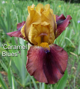 'Caramel Blues'