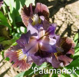 'Paumanok' - SDB - 30cm