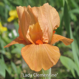 'Lady Clementine'