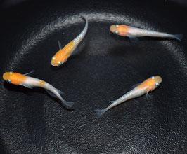 紅白ラメ 1ペア 2.5cm~3cm前後