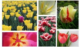 Tulpen- set