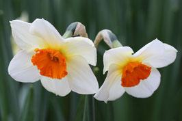 Losse Ansichtkaart Volop Voorjaar 2 Narcissen