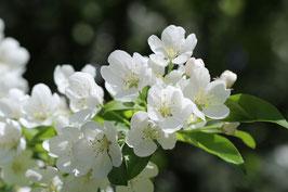 Losse Ansichtkaart Volop Voorjaar witte Bloesem