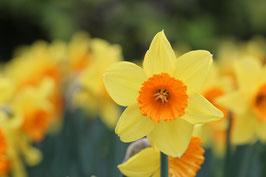 Losse Ansichtkaart Volop Voorjaar Gele Narcissen