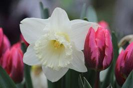 Dubbele kaart 'Voorjaar Tulp Narcis'