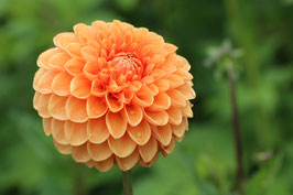Losse Ansichtkaart Dahlia Oranje Pompon
