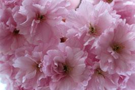 Dubbele kaart Bloesem roze tros