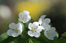 Dubbele kaart Bloesem 5 witte bloemen