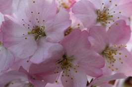 Losse Ansichtkaart Volop Voorjaar Roze Bloesem