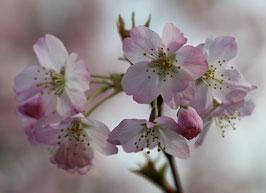 Dubbele kaart 'Bloesem roze'