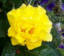 """Leuchtende Rose"""