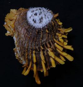 Spondylus butleri    63.1mm F++/F+++