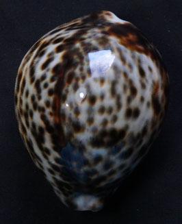 edspal shells- cypraea tigris  72.7mm F+++,,,nice spots  sea shells ,,Philippines