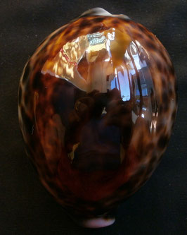 Cypraea tigris   70.6mm F+++, dark spots color