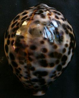 Cypraea   tigris  81.9mm F+++,,,Philippines