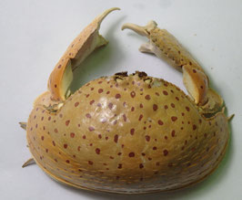 crab taxidermy  callapa callapa box crabs  115mm preserved dried,sea crabs ,measured body only