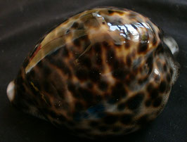 Cypraea tigris  77.7mm F+++, freak form shell