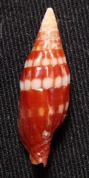 Vexillum cumingii  corallinum 19.3mm F++/F+++