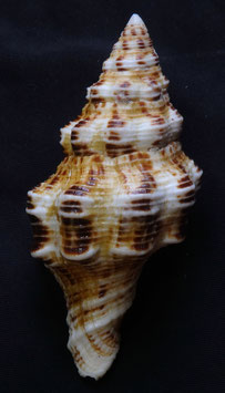 Latirus polygonus  90.9mm F+++, sea shells collectibles