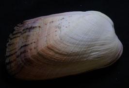 Trapezium sowerbyi  87.4mm F+++, sea shell