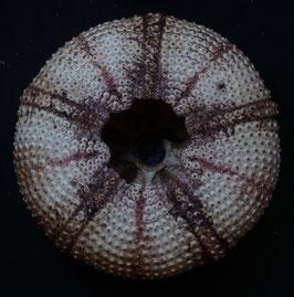 Astropyga  radiata    118.1mmm F+++ sea urchin shell test