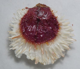Spondylus varians   91.4mm F+++ size measured exclude spines, awesome color