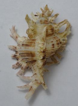 Chicoreus cnissodus   79.2mm F++/F+++ , sea shell conchology