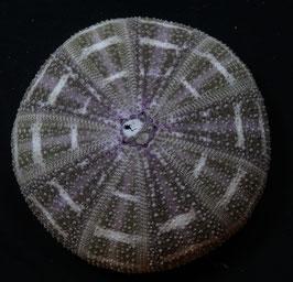SEA URCHIN   Toxopneustes pileolus 108,7mm F+++, alfonso sea urchin