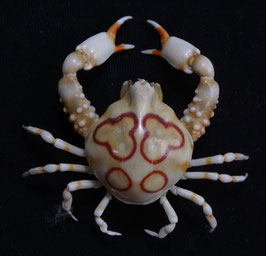 Sea crab taxidermy Leucosia anatum  23.6mm F+++ preserved dried,sea crabs ,measured body only