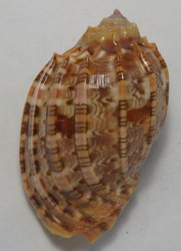 harpa  harpa   67.5mm F+++ , gastropods sea shell