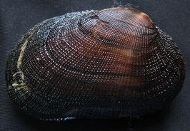 Barbatia  amygdalumtosum  59.7mm F++, sea shell, Philippines