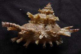 Bolma girgylla     45.6mm F++, sea shell