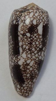Conus  omaria  70.5mm F+++