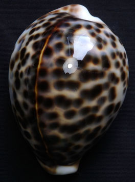 Cypraea tigris  66.7mm F+++, nice spots sea shell