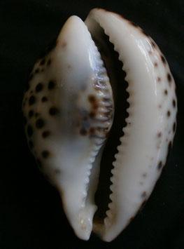 Cypraea tigris  82.6mm F+++, freak form shell