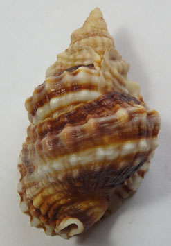 Distorsio anus  73.9mm F+++, Philippine sea shells