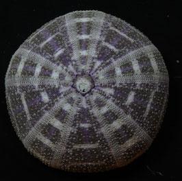 SEA URCHIN   Toxopneustes pileolus 104.2mm F+++, alfonso sea urchin test