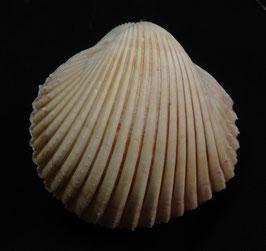 vepricardium multispinosum  48.1mm F++ , sea shell